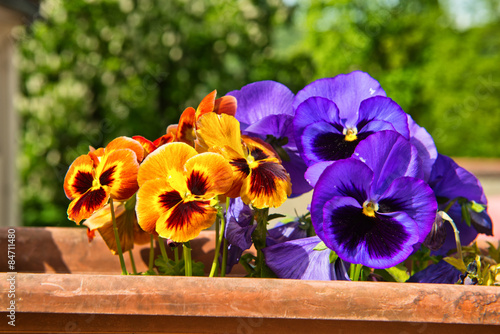 Pansies Pansies with delicate scent and vivid colors