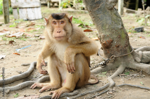 Fotografie, Obraz  Wild monkey enchain to the tree