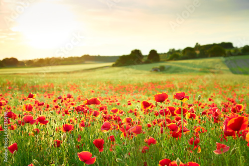 Spoed Foto op Canvas Poppy Close up poppy field