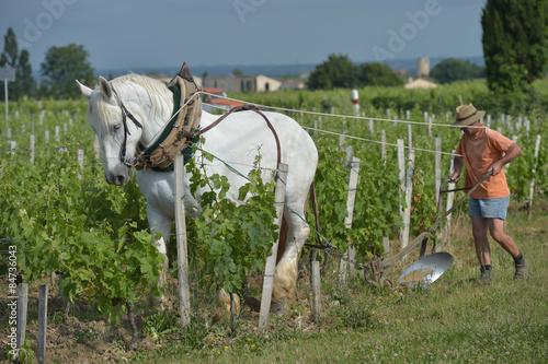 Photo  Labour Vineyard with a draft white horse-Saint-Emilion-France