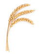 canvas print picture - Ripe ears of wheat isolated on white background