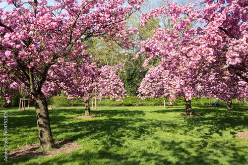 Tuinposter Azalea Cherry trees in full bloom
