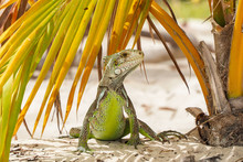 Beautiful Example Of Iguana Stands Looking Around Under A Palm Leaf
