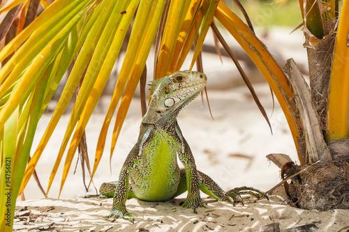 fototapeta na drzwi i meble piękny przykład iguana stoi rozglądając się w liści palmowych