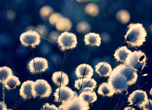 Foto op Canvas Cappuccino Blooming cotton grass in the rays of the setting sun