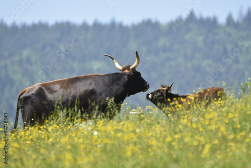 Fotografie, Obraz  Aurochs with calf