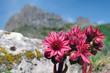 canvas print picture - joubarbe à toile d'araignée , fleur des montagnes
