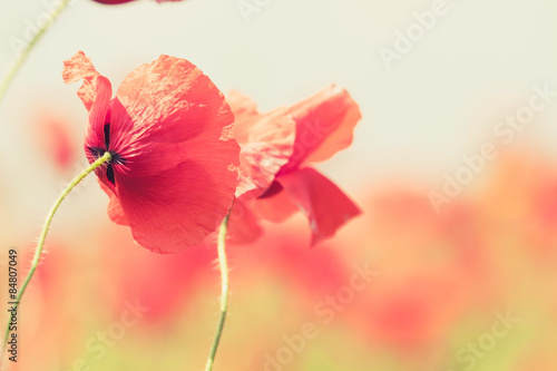 Poster Klaprozen Poppy flowers retro peaceful summer background