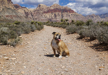 Bulldog On The Trail In Red Rock Canyon