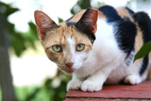 Feral Calico Cat