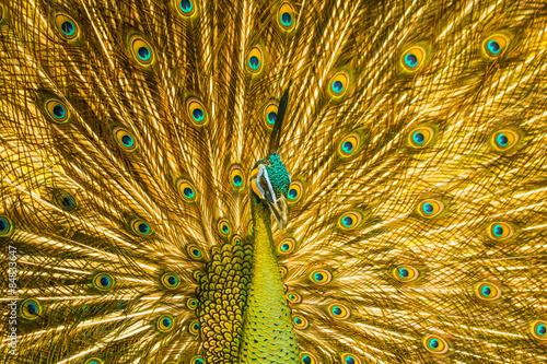 Obraz paw golden-peacock