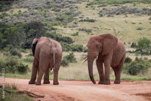 Foto op Aluminium Olifant Two African Elephants (Loxdonta)
