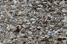 Coquina Shell Wall Background