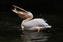 Great White Pelican (Pelecanus...