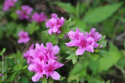 Tuinposter Azalea azalea