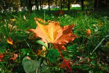 Autumn Maple Leaf On The Grass