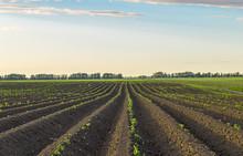 Shoots Potato Farmer Field.
