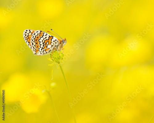 Foto auf AluDibond Schmetterling Veldparelmoervlinder rustend tussen de gele boterbloemen