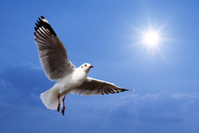 Flying Seagull On Beautiful Sunlight Background