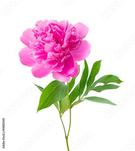 Fotografie, Obraz peony flower with clipping path