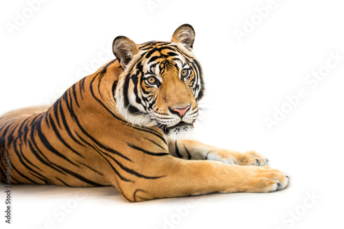 In de dag Tijger Siberian tiger isolated