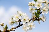 Kwiat wiśni Polska wiosna
