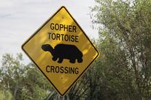 "Gopher Tortoise Crossing"", Myakka River State Park, Florida, USA, North America"