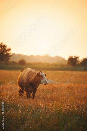 Cows on pasture Wall mural
