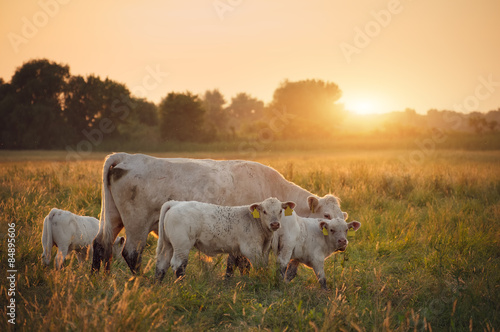 Photo Stands Cow Cows on pasture