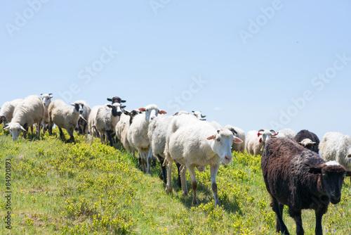 Foto op Canvas Schapen Sheep grazing on the slopes of Ukrainian Carpathians