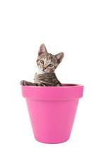 Cypers Kitten, Jonge Kat, In Een Roze Bloempot Tegen Een Witte Achtergrond