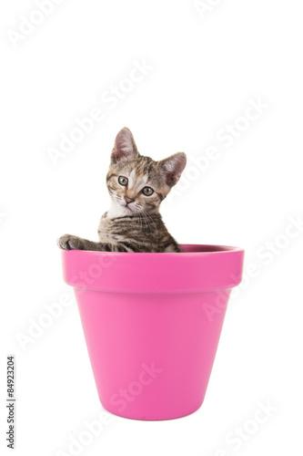 Cypers kitten, jonge kat, in een roze bloempot tegen een witte achtergrond Tableau sur Toile