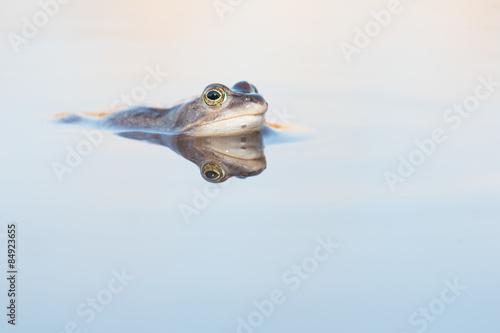 Photo Stands Frog Blauwe heikikker liggend in het water met spiegelbeeld