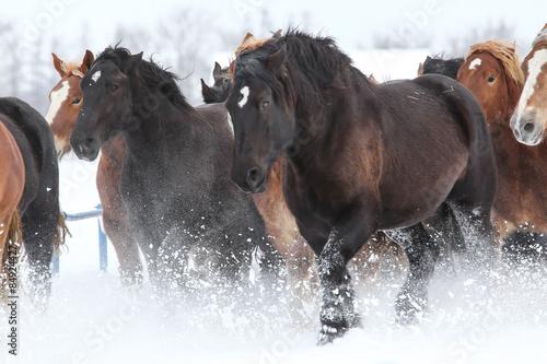 Fototapeta 雪原を走る馬 obraz