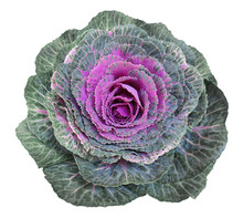 Purple Cabbage Flower Isolated On White