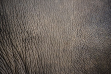 Close Up Elephant Skin Texture And Background.