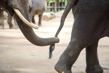Close Up Elephant Trunk Holdin...