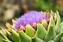 Ripe Artichoke Bloom. Close Up...