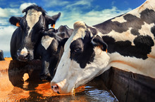 Herd Of Cows Drinking Water