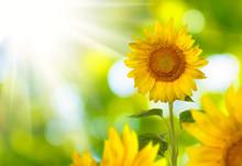 Image Field Of Sunflowers