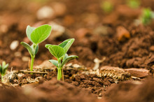 Soy Seedlings Springing Up Fro...
