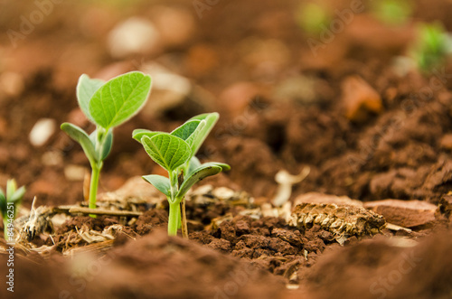 Fotografía Soy seedlings springing up from the plantation soil