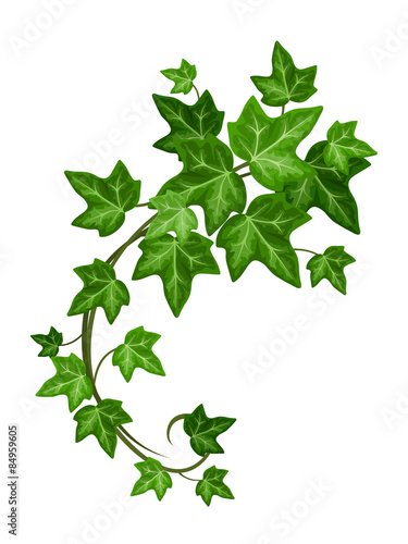 Fotografie, Obraz Vector green ivy branch isolated on a white background.