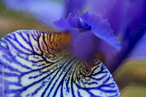 Spoed Foto op Canvas Iris iris sibirica in bloom, macro shot