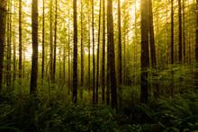Line Of Lush Green Trees Standing Along A Trail In Drift Creek Falls, Oregon