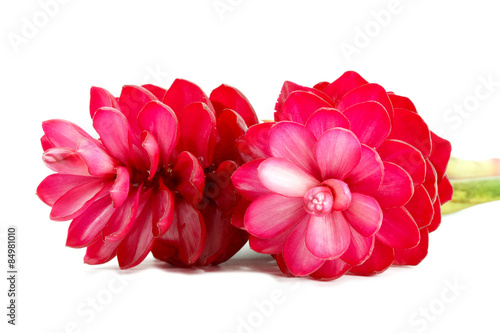 Poster de jardin Dahlia beautiful tropical red ginger flower on isolate white background
