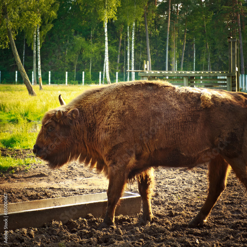 Fotografia, Obraz  aurochs in wildlife sanctuary