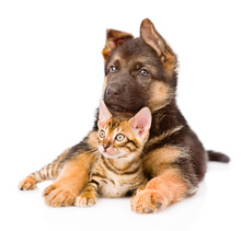 German Shepherd Puppy Dog Embracing Little Bengal Cat. Isolated