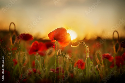 Poster de jardin Poppy Poppies at sunset