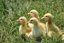 Four Ducks On Green Grass